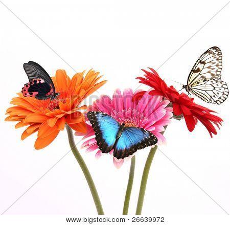 Gerber flores com borboletas, isoladas no fundo branco
