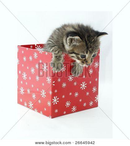 Lindo gato en una caja roja