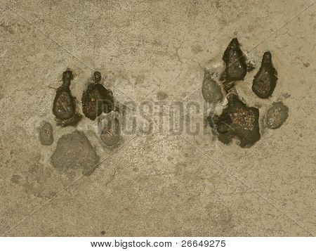 Tiger prints in brown cement