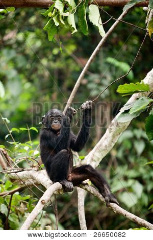 The Bonobo Cub