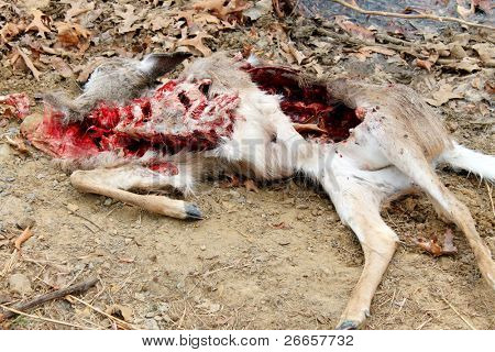 Dead deer killed by coyotes