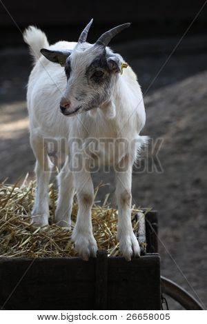 White Goat On A Straw Wagon