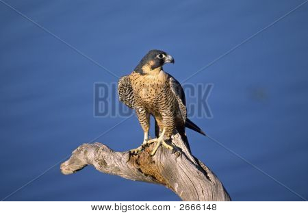 Peregrine Falcon Against Blue Colorado Sky