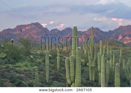 Saguaros In Superstition Wilderness