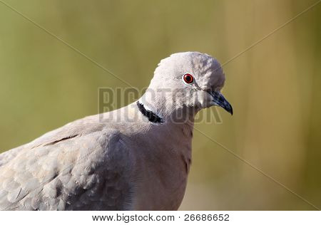 Eurasian collared dove(streptopelia decaocto)