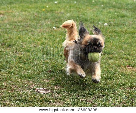 Pekingese With A Tennis Ball