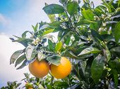 Kerikeri Navel Oranges On Citrus Tree With Flowers In Orchard In Far North District, Northland, New  poster