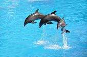 pic of whale-tail  - Three dolphins - JPG