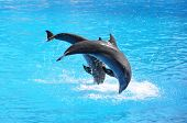 picture of grampus  - Pair of dolphins - JPG
