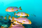 A Flock Of Yellow Banded Sweetlips (plectorhinchus Lineatus). Indian Ocean. poster