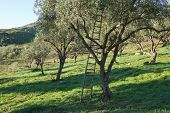 image of olive trees  - wooden ladder leaning against an olive tree - JPG