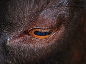 stock photo of cashmere goat  - eye of goat - JPG