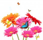 stock photo of butterfly flowers  - Gerber flowers with butterflies - JPG