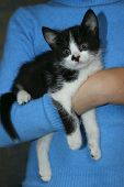 Cute Tuxedo Kitten. Cropped Shot Of An Owner And Pet. Animals Day, Pets,  Animals Concept. Black Kit poster