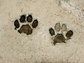 picture of paw-print  - Real tiger footprints - JPG