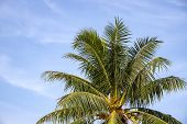 Green Coco Palm Leaf On Blue Sky Background. Fluffy Palm Tropical Landscape Photo. Exotic Place For  poster