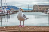 Front View Of Seagull At Pier 39 In Foregorund At Fishermans Wharf, San Francisco, California, Unite poster