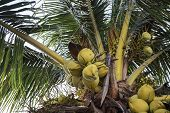 Coconut Branch On Coco Palm Tree. Green Palm Fruit Photo. Coconut On Tree. Tropical Garden Landscape poster