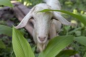 White Goat In Summer Garden. Cute Fluffy Animal Photo. Farm Animal Portrait. Curious Goat Looking In poster