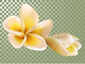 Plumeria Or Frangipani Flower And Bud Vector Illustration. Transparency Grid Background. Flowering,  poster