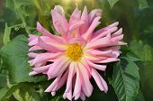 Pink And Yellow Spider Dahlia Flower poster