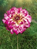 Dahlia Decorative Purpur  Against The Background Of Green Leaves poster