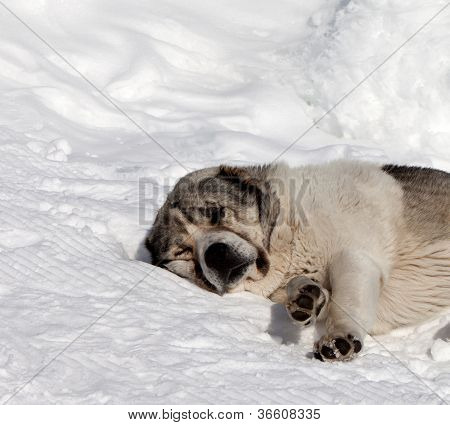 Dog Sleeping On Snow