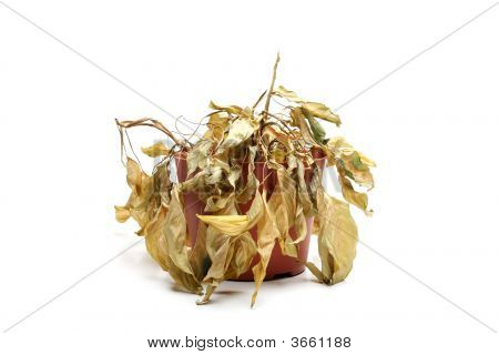 Dead Plant Isolated On White