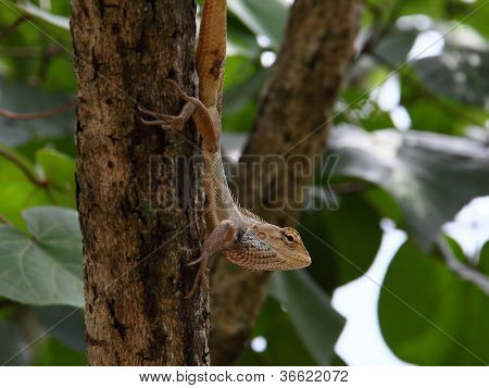 Oriental Garden Lizard Looking Out