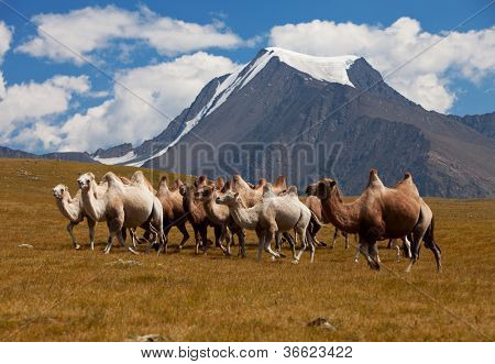 Herd camels against mountain. Altay mountains. Mongolia