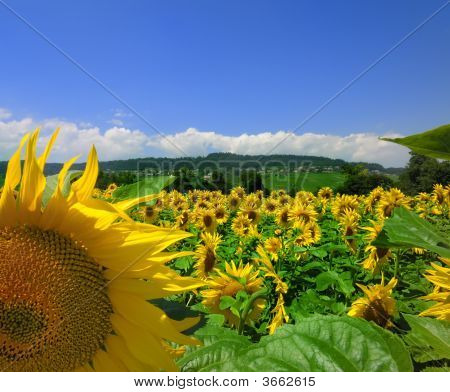 Sunflowers And Country Scene