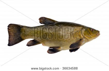 Tench Fish After Fishing Isolated On White
