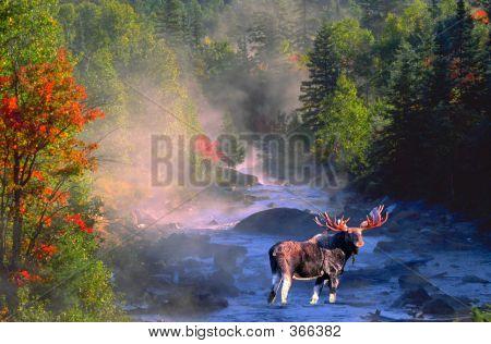 Bull Moose In Stream