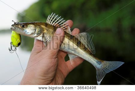 Small walleye in fisherman's hand, close-up