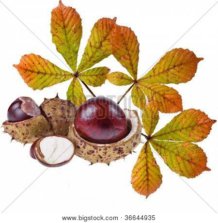 Horse Chestnuts Aesculus (conker, buckeye) isolated on a white background