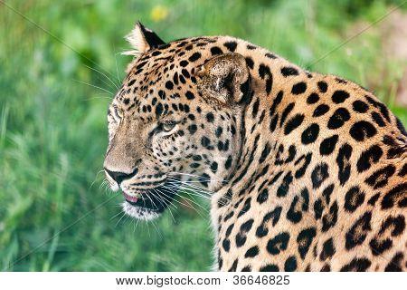 Head Short Portrait Of Beautiful Amur Leopard