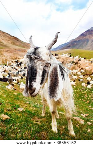 Curious white goat in the mountainous valley