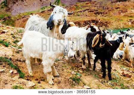 Goat flock in the mountainous area