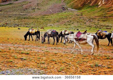 Packhorse herd in the mountains area
