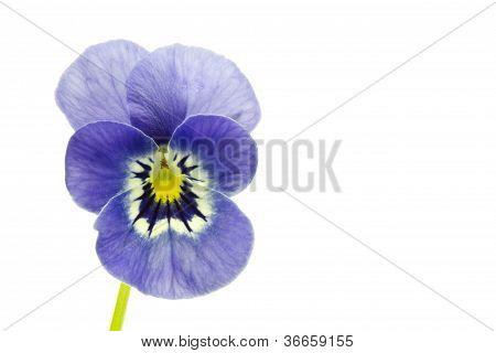 Viola cornuta flower