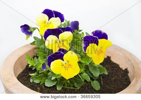 Viola cornuta flower in a pot on white background