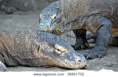 The Komodo dragon