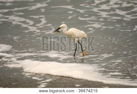 Snowy Egret and Sand Crab