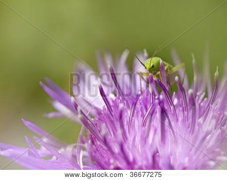 Bush-Cricket on Knapweed