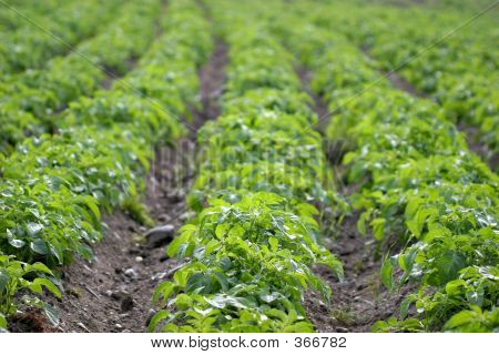 Potato Rows