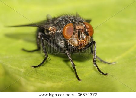 Close-up of a Blue Bottle fly (Calliphora vomitaria)