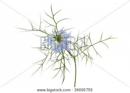 Blue Nigella flower on white background