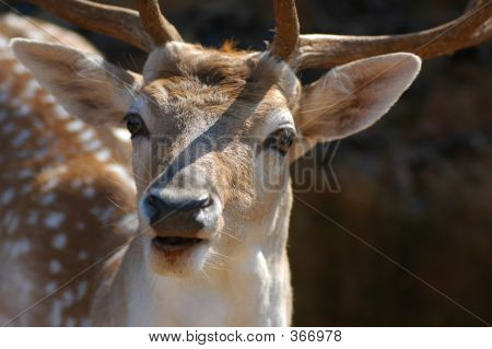 Startled Deer