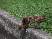 picture of indian peafowl  - Indian Peafowl chicks  - JPG