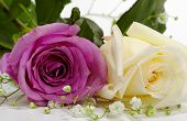 stock photo of white roses  - violet and white rose on white background - JPG